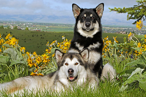 DOG 01 DB0089 01 © Kimball Stock Alaskan Malamutes Laying On Hill Over Valley