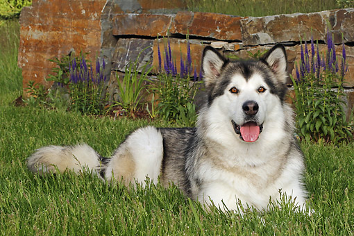 DOG 01 DB0090 01 © Kimball Stock Alaskan Malamute Laying By Bricks