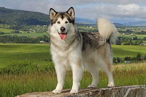 DOG 01 DB0091 01 © Kimball Stock Alaskan Malamute Standing On Rock In Grassy Valley
