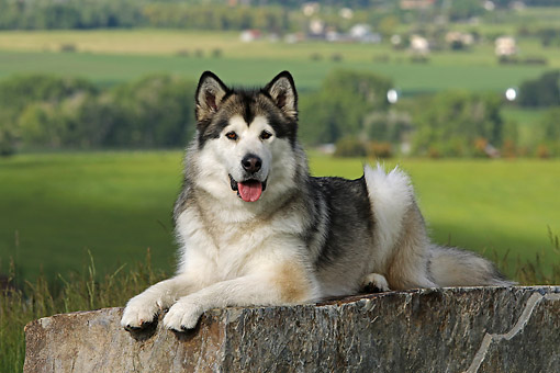 DOG 01 DB0092 01 © Kimball Stock Alaskan Malamute Laying On Rock In Grassy Valley