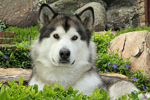 DOG 01 DB0094 01 © Kimball Stock Alaskan Malamute Portrait In Flower Bed
