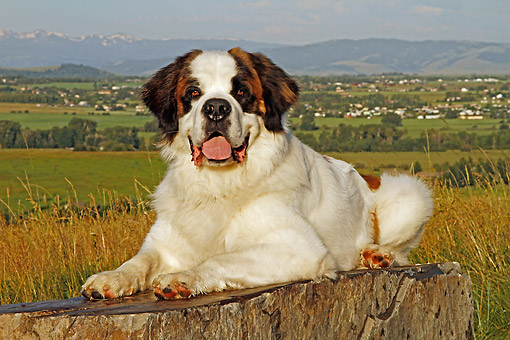 DOG 01 DB0098 01 © Kimball Stock St. Bernard Laying On Rock By Valley