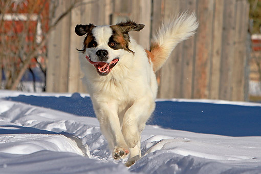 DOG 01 DB0101 01 © Kimball Stock St. Bernard Running In Snow
