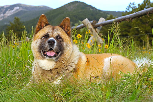DOG 01 DB0105 01 © Kimball Stock Akita Dog Laying In Grass By Mountains