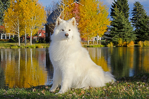 DOG 01 DB0112 01 © Kimball Stock Samoyed Sitting By Pond And Autumn Trees By Farm