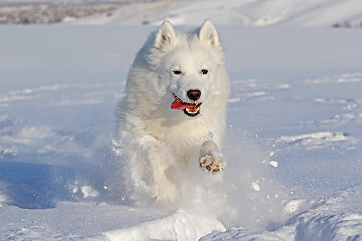 DOG 01 DB0113 01 © Kimball Stock Samoyed Running Through Snow