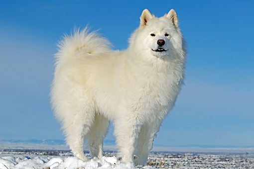 DOG 01 DB0114 01 © Kimball Stock Samoyed Standing In Snow