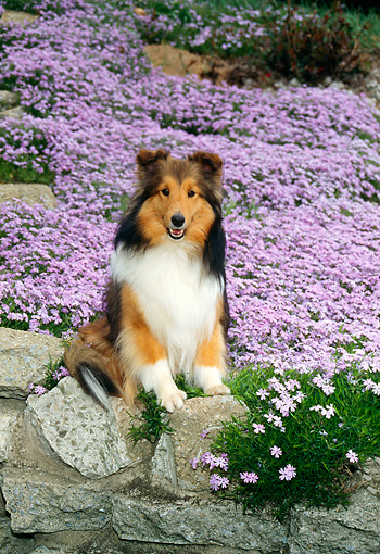 DOG 01 FA0005 01 © Kimball Stock Shetland Sheepdog Sitting In Field Of Lavender Flowers
