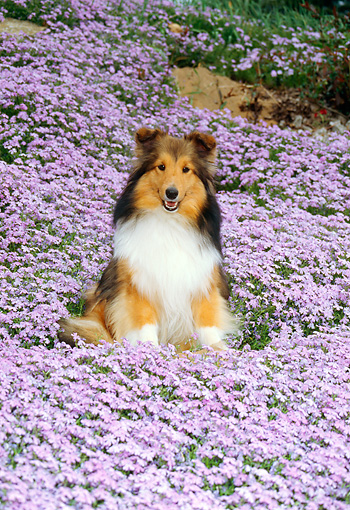 DOG 01 FA0006 01 © Kimball Stock Shetland Sheepdog Sitting In Field Of Lavender Flowers