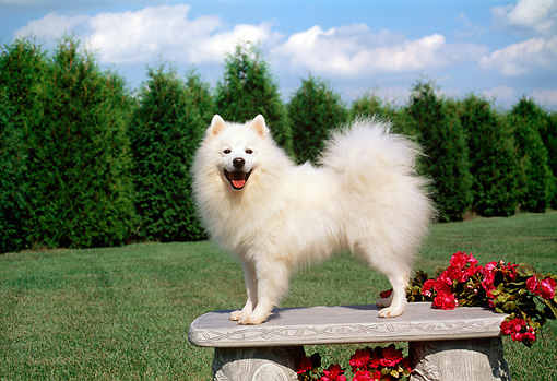 DOG 01 FA0056 01 © Kimball Stock American Eskimo Standing On Bench By Field