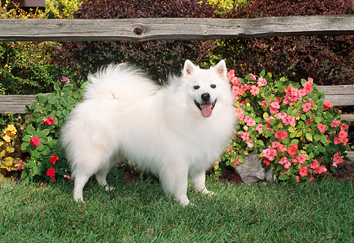 DOG 01 FA0057 01 © Kimball Stock American Eskimo Standing On Grass By Fence