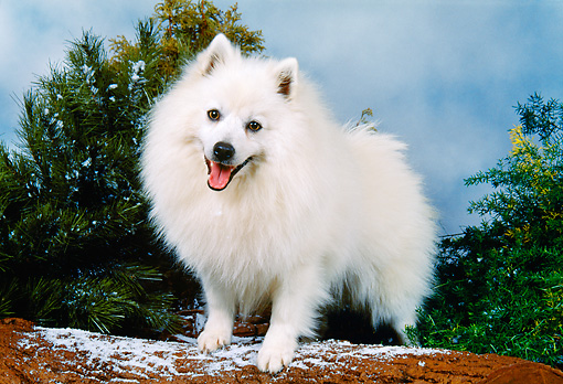 DOG 01 FA0058 01 © Kimball Stock American Eskimo Standing On Log By Pine Trees