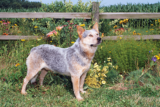 DOG 01 FA0060 01 © Kimball Stock Australian Cattle Dog Standing On Grass By Fence