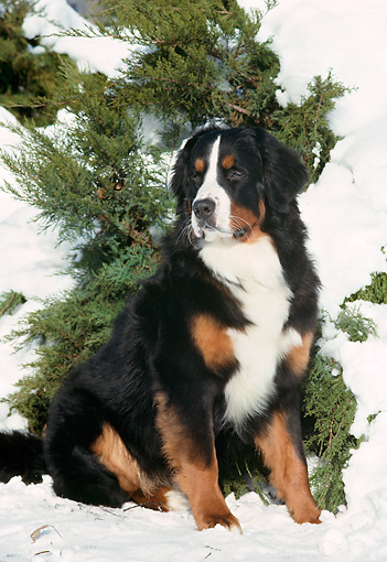 DOG 01 FA0061 01 © Kimball Stock Bernese Mountain Dog Sitting In Snow By Tree