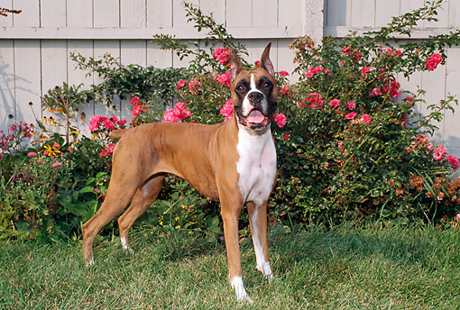 DOG 01 FA0067 01 © Kimball Stock Boxer Standing On Grass By Pink Flowers And Fence