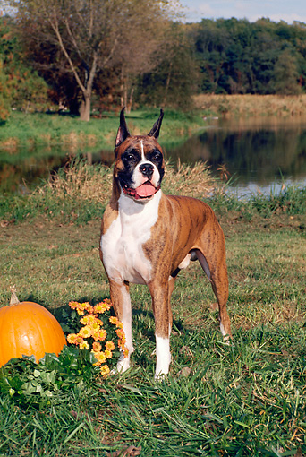 DOG 01 FA0069 01 © Kimball Stock Boxer Standing On Grass By Pumpkin And Lake