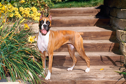 DOG 01 FA0070 01 © Kimball Stock Boxer Standing On Wooden Stairs By Yellow Flowers