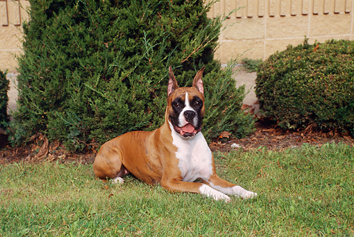 DOG 01 FA0071 01 © Kimball Stock Boxer Laying On Grass By Shrubs