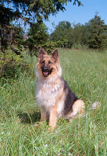 DOG 01 FA0072 01 © Kimball Stock Long-haired German Shepherd Sitting In Field