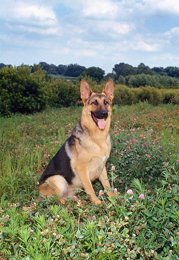DOG 01 FA0079 01 © Kimball Stock German Shepherd Sitting In Field