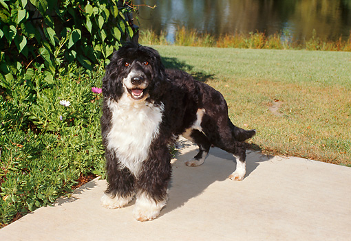 DOG 01 FA0085 01 © Kimball Stock Portuguese Water Dog Standing On Cement By Grass And Water