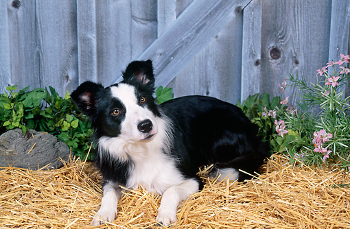 DOG 01 FA0091 01 © Kimball Stock Border Collie Laying In Hay By Pink Flowers And Fence