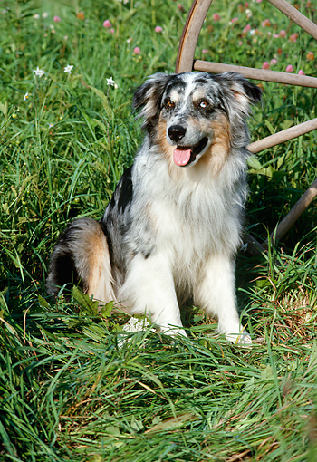 DOG 01 FA0096 01 © Kimball Stock Australian Shepherd Sitting In Grass By Wooden Wheel
