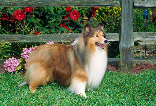 DOG 01 FA0102 01 © Kimball Stock Shetland Sheepdog Standing On Lawn By Wooden Fence And Garden