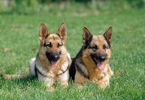 DOG 01 GL0006 01 © Kimball Stock Two German Shepherds Resting On Grass Field