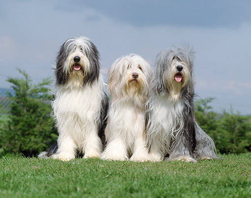 DOG 01 GL0013 01 © Kimball Stock Three Bearded Collies Sitting On Grass