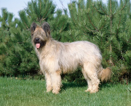 DOG 01 GL0014 01 © Kimball Stock Briard Standing On Grass By Evergreen Profile