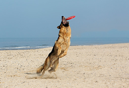 DOG 01 GL0017 01 © Kimball Stock German Shepherd Male Catching Frisbee On Normandy Beach