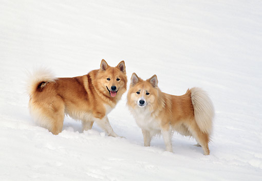 DOG 01 GL0019 01 © Kimball Stock Two Icelandic Sheepdogs Standing In Snow