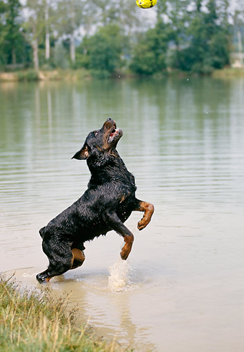 DOG 01 GL0025 01 © Kimball Stock Rottweiler Leaping For Ball In Water