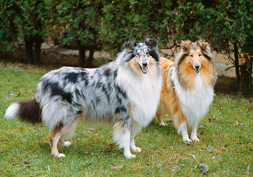 DOG 01 GL0026 01 © Kimball Stock Rough Collies Standing In Grass