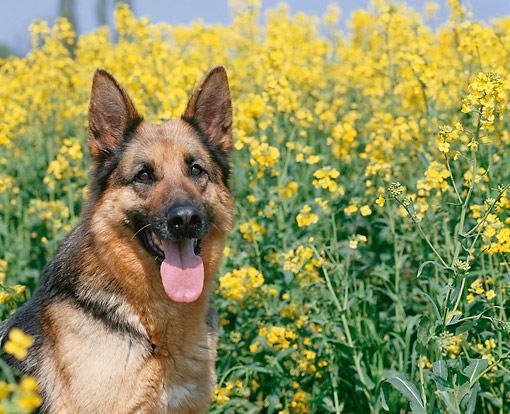 DOG 01 GL0028 01 © Kimball Stock German Shepherd Portait Sitting By Flowers
