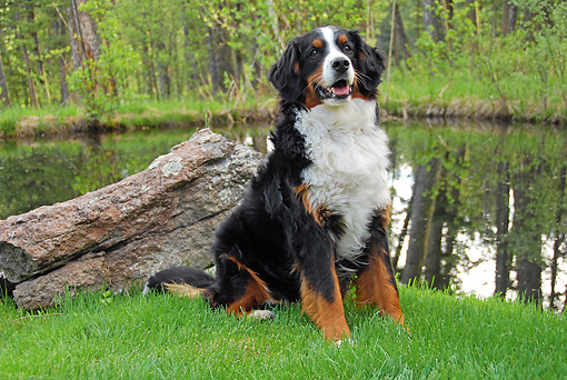 DOG 01 IC0001 01 © Kimball Stock Bernese Mountain Dog Sitting On Grass By Pond