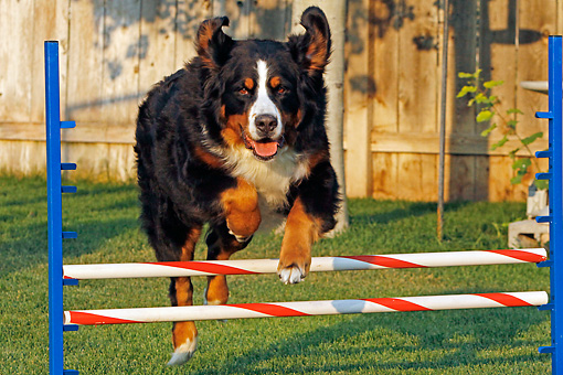 DOG 01 IC0005 01 © Kimball Stock Bernese Mountain Dog Running Agility Course