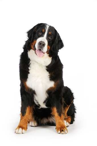 DOG 01 JD0003 01 © Kimball Stock Bernese Mountain Dog Sitting On White Seamless