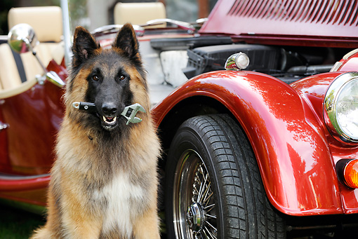 DOG 01 JD0007 01 © Kimball Stock Belgian Shepherd Sitting By Car Holding Wrench In Mouth