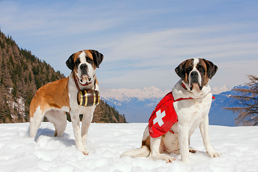 DOG 01 JE0004 01 © Kimball Stock Saint Bernards Standing And Sitting In Snow By Mountains