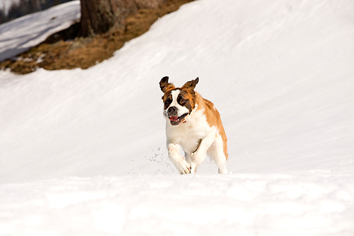 DOG 01 JE0010 01 © Kimball Stock Saint Bernard Running In Snow