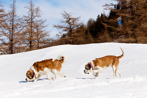 DOG 01 JE0013 01 © Kimball Stock Two Saint Bernards Walking In Snow