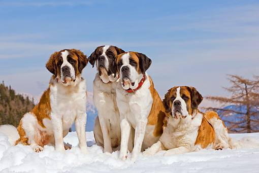 DOG 01 JE0014 01 © Kimball Stock Four Saint Bernards Sitting And Laying In Snow