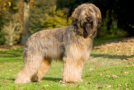 DOG 01 JE0027 01 © Kimball Stock Briard Standing On Grass And Fallen Leaves