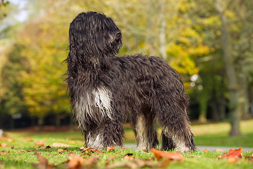 DOG 01 JE0030 01 © Kimball Stock Portuguese Sheepdog Standing On Grass And Fallen Leaves