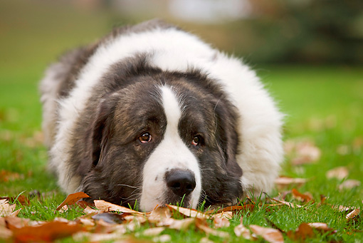 DOG 01 JE0035 01 © Kimball Stock Pyrenean Mastiff Laying On Grass And Fallen Leaves