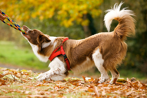 DOG 01 JE0036 01 © Kimball Stock Border Collie Playing Tug Of War On Grass And Fallen Leaves