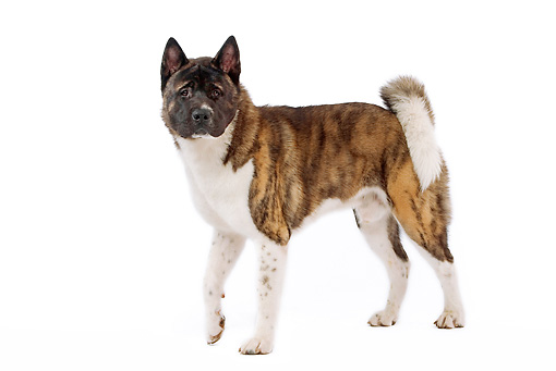 DOG 01 JE0046 01 © Kimball Stock American Akita Standing On White Seamless
