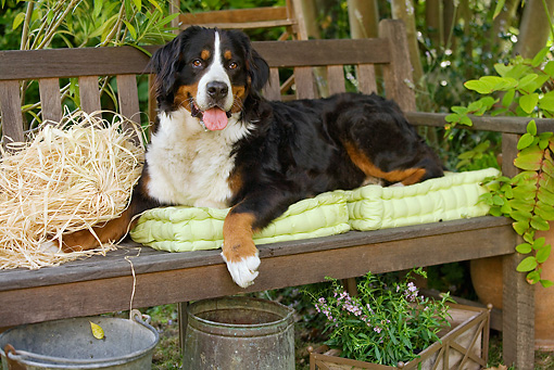 DOG 01 JE0051 01 © Kimball Stock Bernese Mountain Dog Laying On Bench With Cushions, Buckets And Planter With Pink Flowers